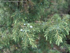 terra alap237tv225ny juniperus communis l k246z246ns233ges bor243ka